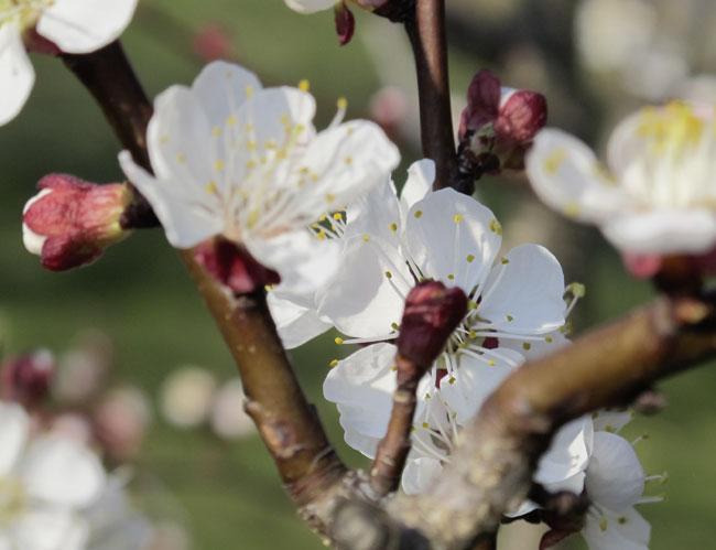 Der Marillenbaum blüht!