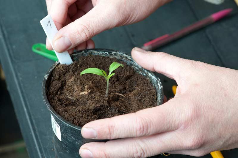 09_tomaten_paradeiser_vereinzeln