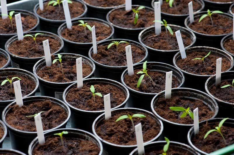 Tomaten bzw. Paradeiser vereinzeln
