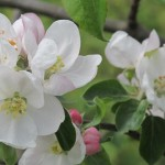Der alte Apfelbaum blüht-2