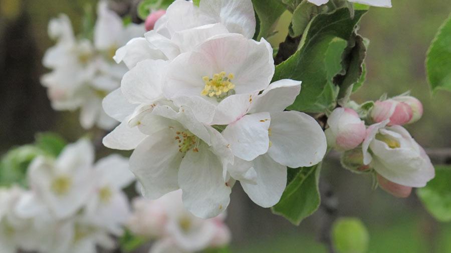 Der alte Apfelbaum blüht-3