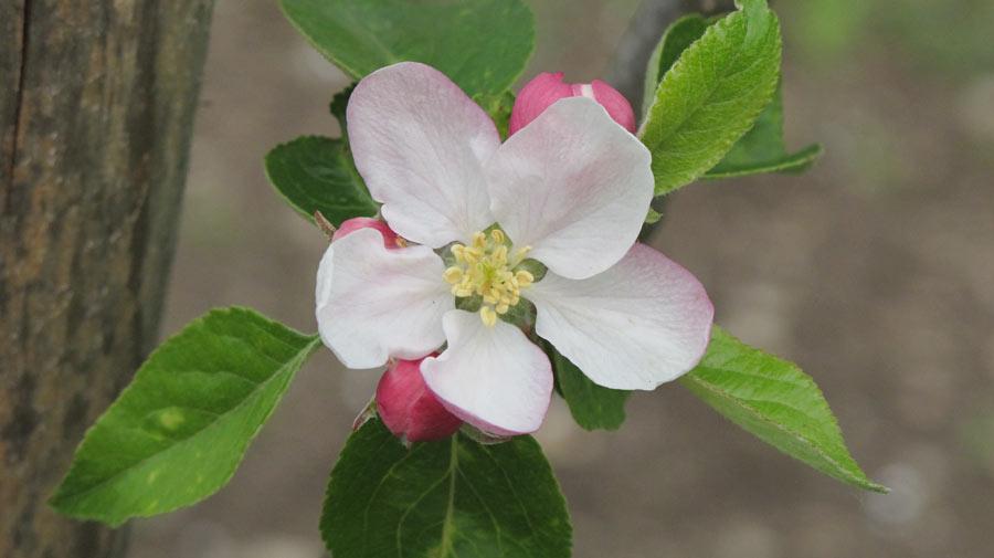 Der neue Apfelbaum blüht auch