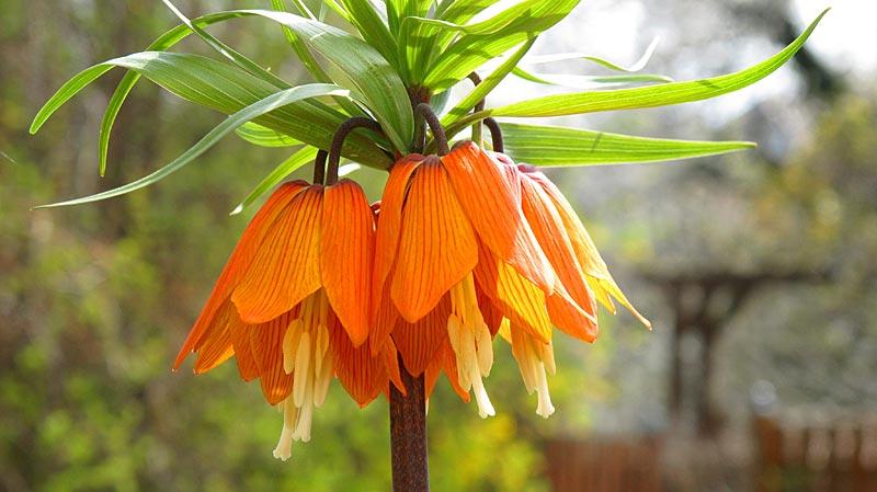Die Kaiserkrone - Fritillaria - die Kaiserin im Frühlingsgarten