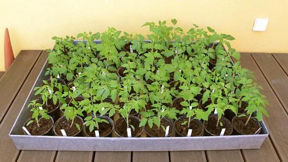 Jungpflanzen von Tomaten bzw. Paradeisern
