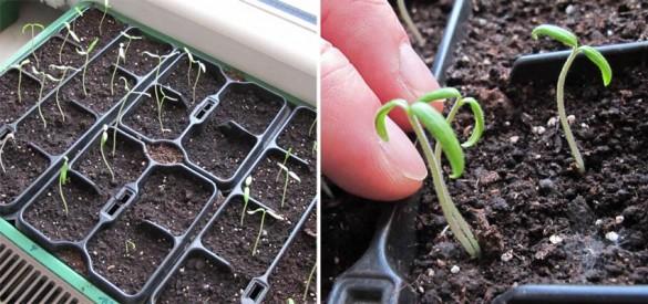Tomaten bzw. Paradeiser Vorziehen