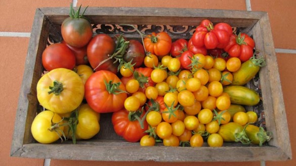 Tomatenvielfalt Paradeiser