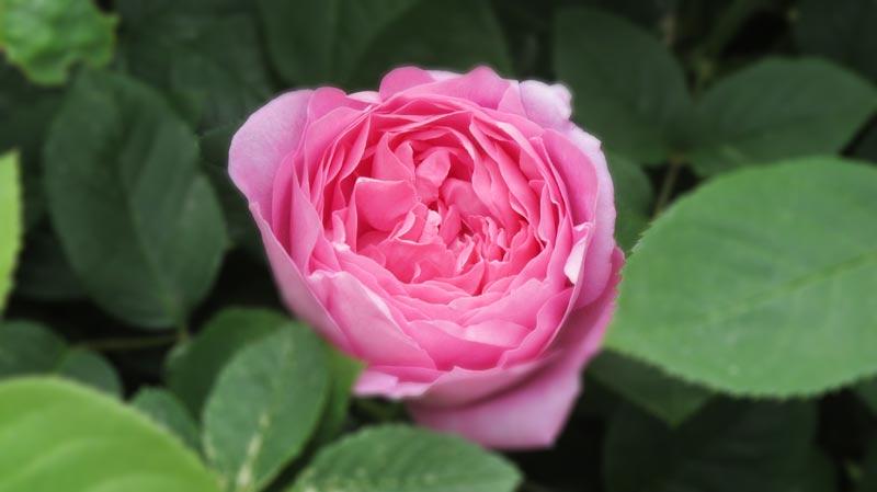 Die erste Rose blüht!