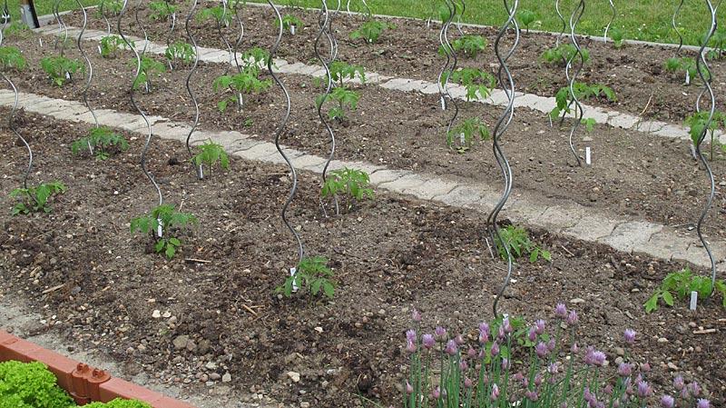 Paradeiser im Freiland ausgepflanzt
