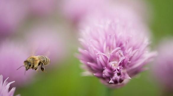 Biene beim Bestäuben