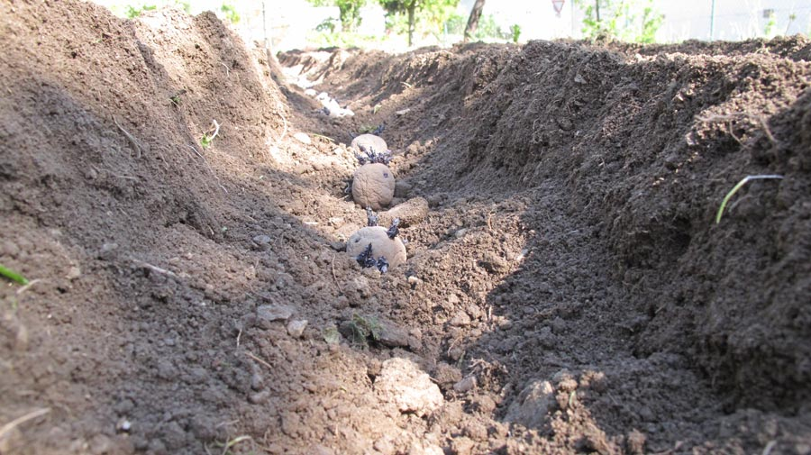 2012-Eigene Kartoffeln anbauen