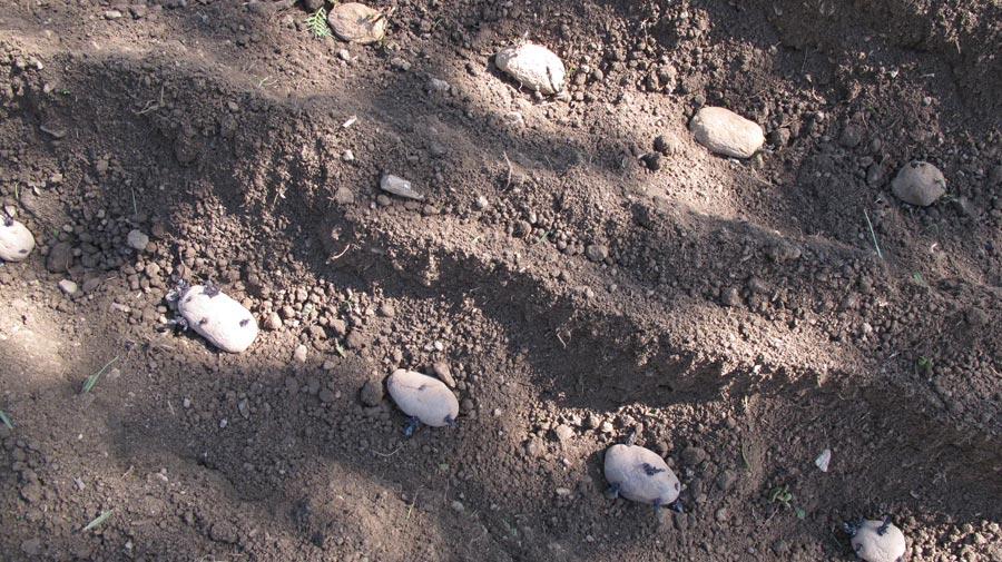 3-Kartoffeln anbauen