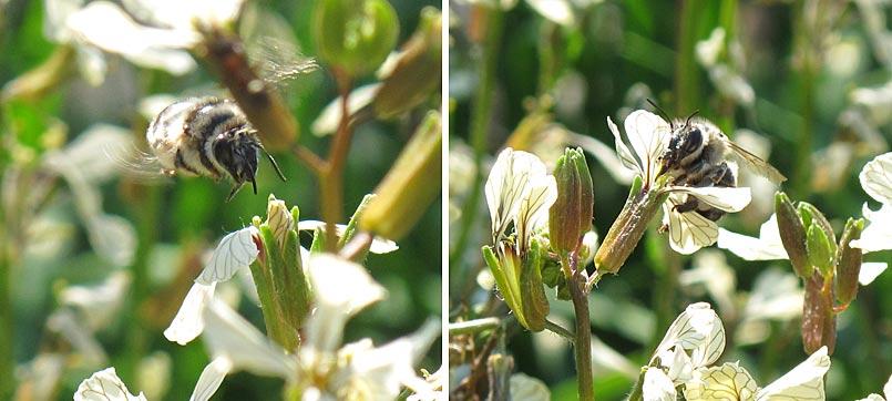 Insekten bestäuben Blüten