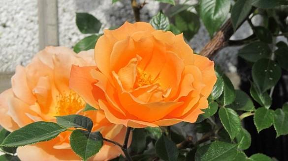 Rose in voller Blüte