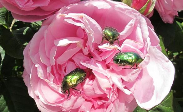 Gleich 3 Rosenkäfer in einer Rosenblühte
