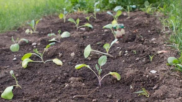 Broccoli, Karfiol und Spitzkraut anbauen im Juni