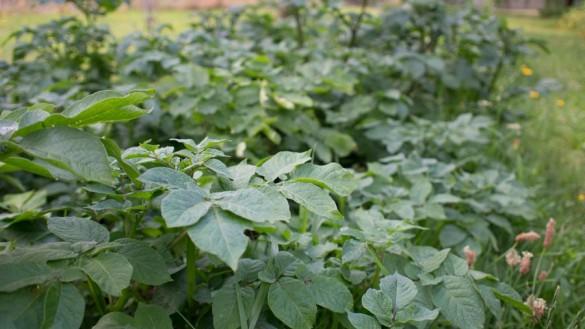 Kartoffeln-Erdaepfel im Juni