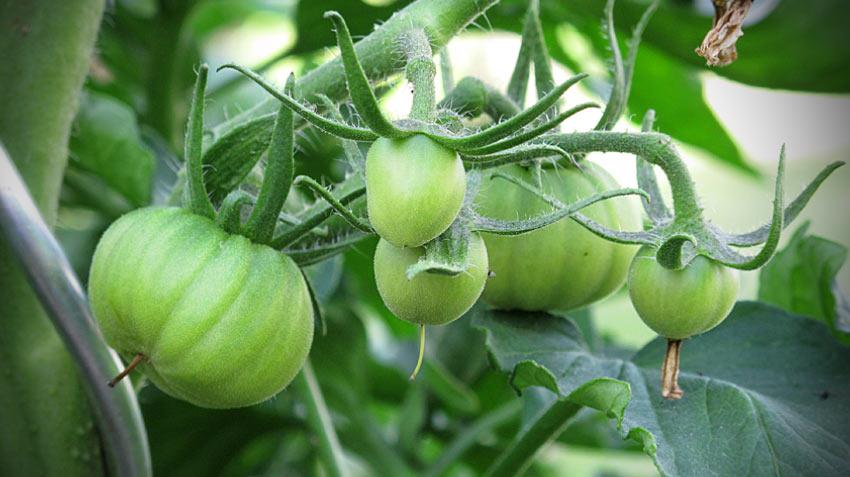 Paradeiser bilden die ersten Früchte
