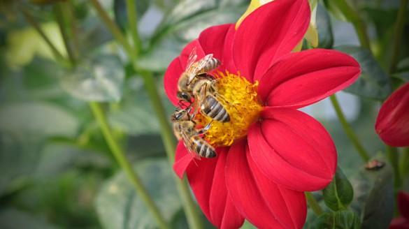 Bienen auf Dalien