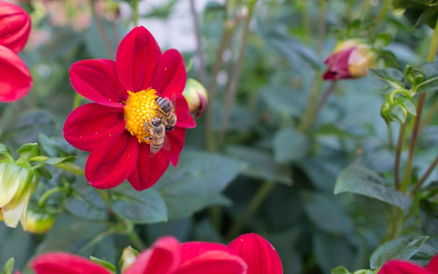 Dalien und Bienen