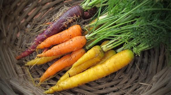Verschiedene Karotten sind reif