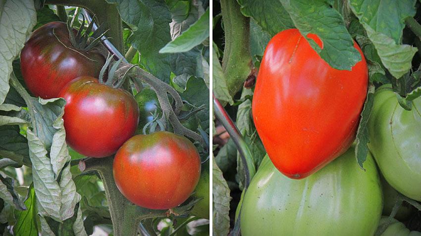 Paradeiser und Tomaten in Burgenland sind reif