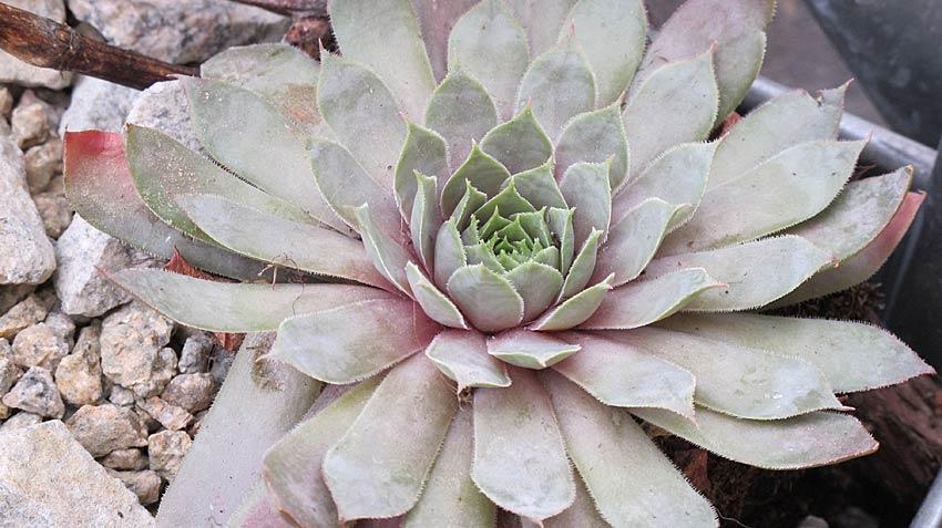sempervivum_metallicum_giganteum