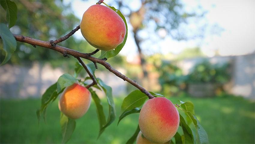 Zuckersüße Pfirsiche