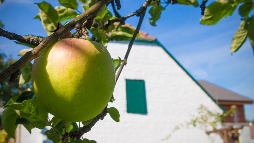 Apfel im September im Burgenland