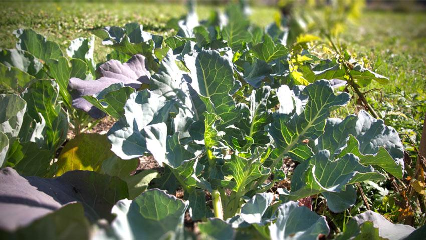 Wie weit sind Broccoli, Karfiol und Spitzkraut im September