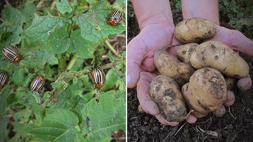 Kartoffelernte und der Kartoffelkäfer