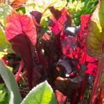 Mangold im September im Burgenland