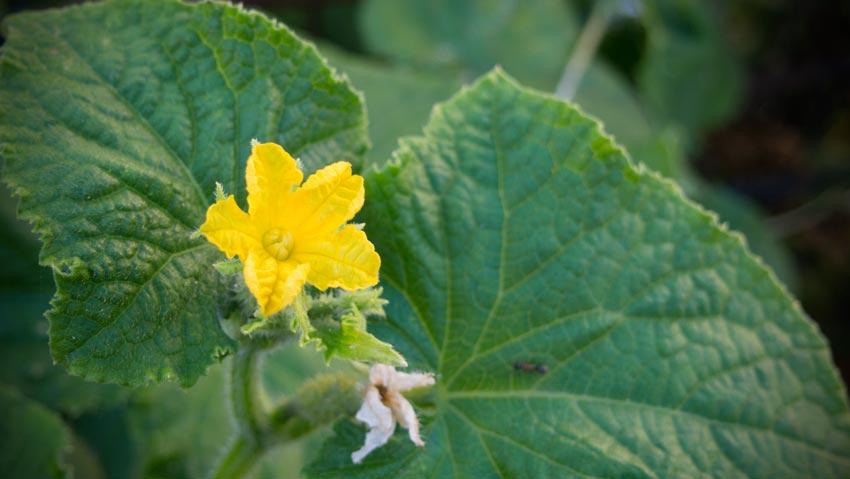 Gurken-Blüte