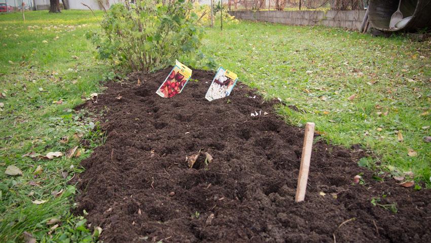 Knoblauch und Zwiebel fürs nächste Jahr anpflanzen