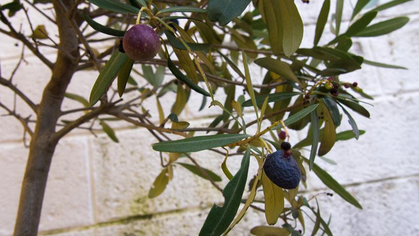 Oliven-Ernte im Burgenland