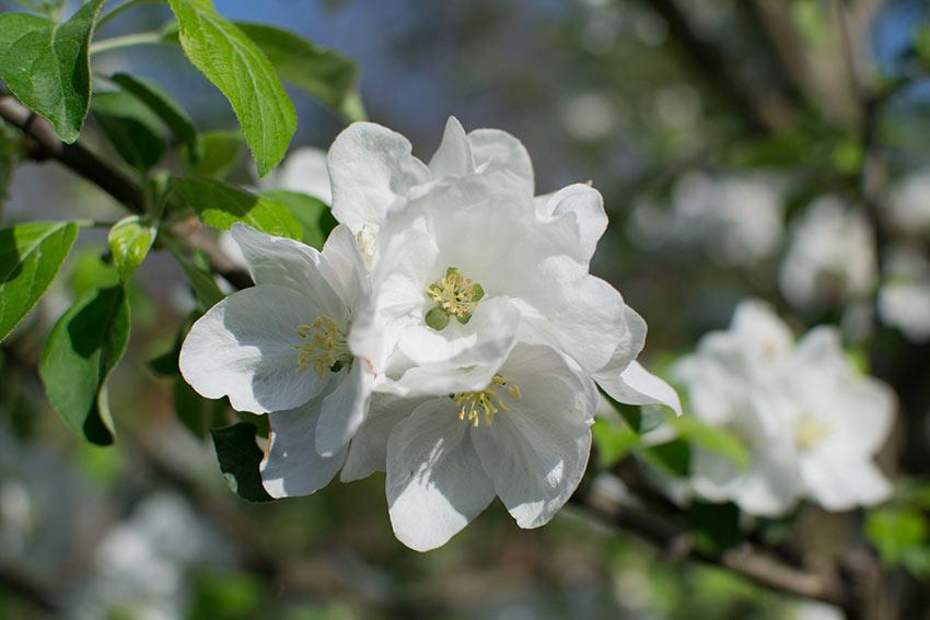 Äpfel und Birnen blühen