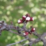 Der Marillenbaum blüht-2013-Burgenland-02