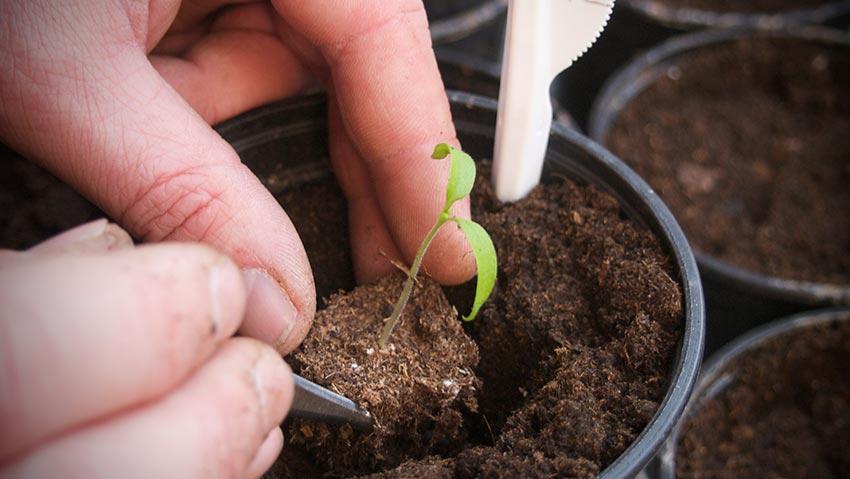 tomaten pikieren paradeiser 06 friedrichs gartenjahr auss en pflanzen gie en und genie en. Black Bedroom Furniture Sets. Home Design Ideas