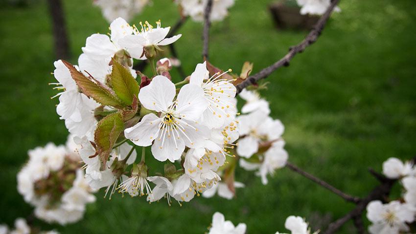 Die Kirschen blühen: April 2013