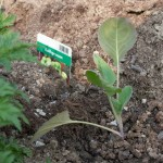 Kohlsprossen einpflanzen