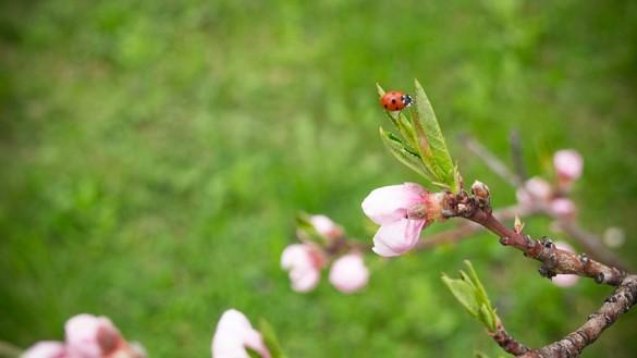 Ein Marienkäfer im Pfirsichbaum