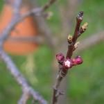 Der Pfirsichbaum blüht-2013-Burgenland