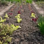 Salat einpflanzen