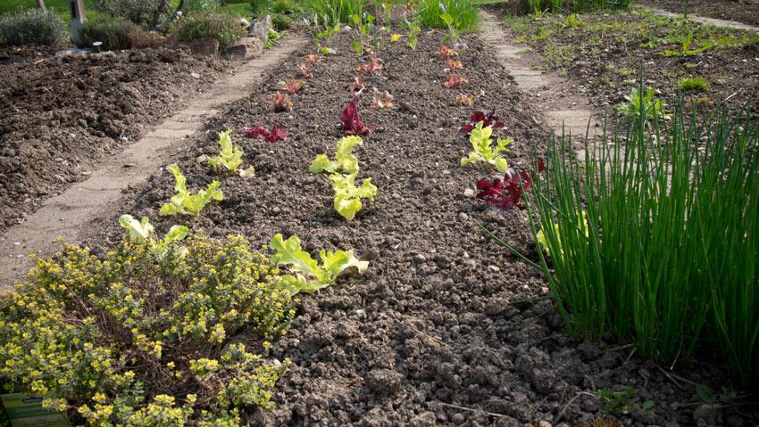salat einpflanzen friedrichs gartenjahr auss en. Black Bedroom Furniture Sets. Home Design Ideas