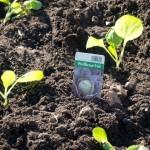 Weisskraut einpflanzen