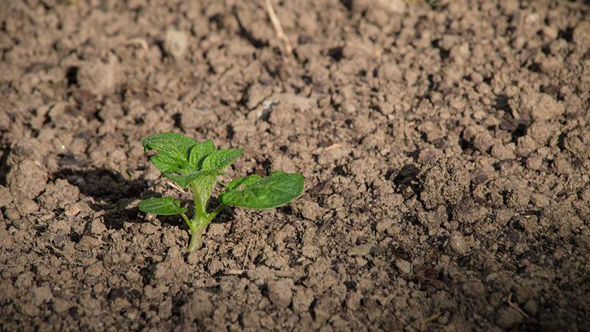 Kartoffel/Erdapfel: kleine Pflanze nach einer Woche