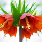 Kaiserkrone-Fritillaria