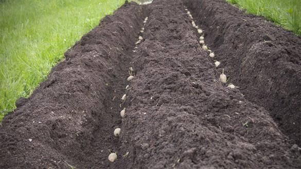 kartoffel-erdaepfel-einsetzen-02