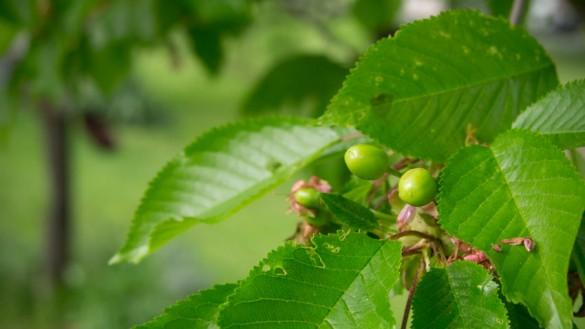 Kirschen-2013-Fruchtansatz