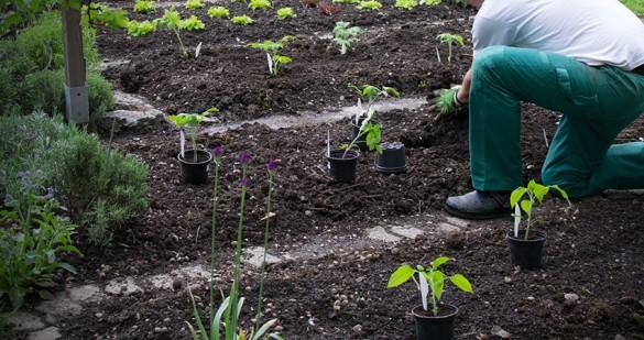 Paradeiser ins Freiland pflanzen