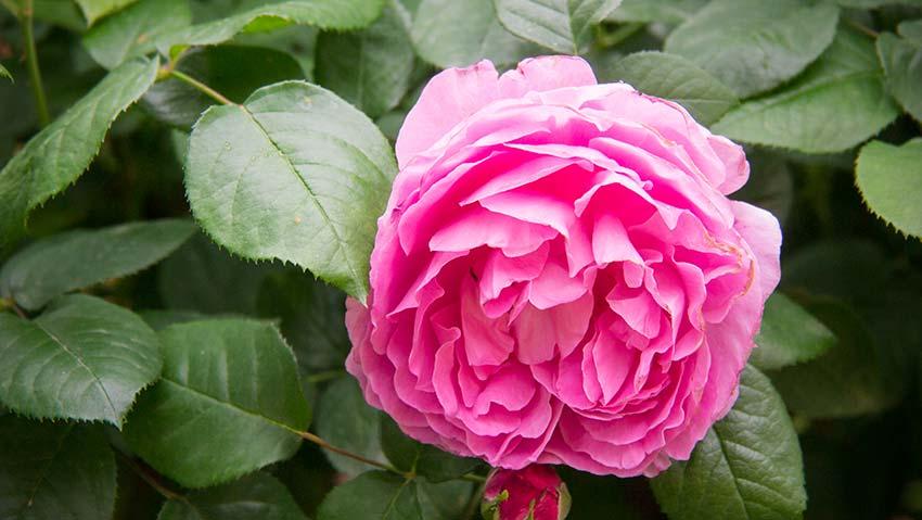Die Rosen blühen im Frühlingg-01